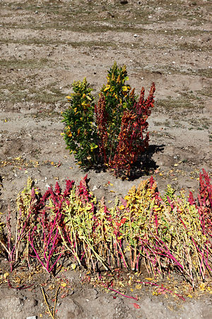 Recently harvested quinoa plants (Chenopodium quinoa) in field, Bolivia