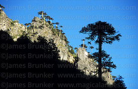 Monkey Puzzle (Araucaria araucana) tree silhouetted against crag, Huerquehue National Park, Region IX, Chile