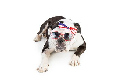 Bulldog Wearing American Flag Accessories
