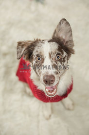 happy aussie in red sweater and white background