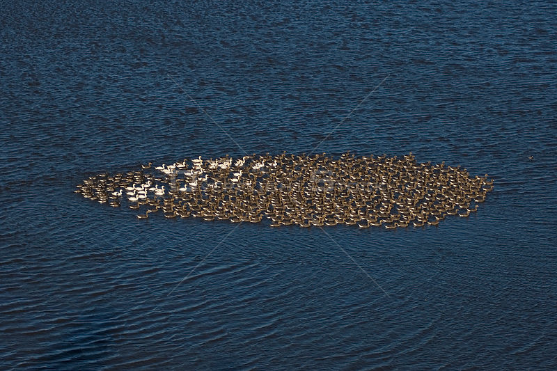 Dense flock of Greater white-fronted geese (Anser albifrons) and snow geese (Anser caerulescens) on water near the Colville R...