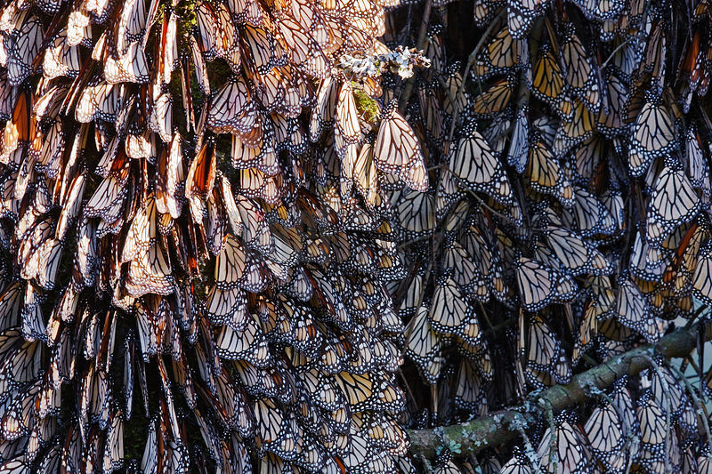 Monarch Butterflies Clustered on Pine Tree at Dusk Sierra Chinqua Butterfly Reserve Angangueo Michoacan Mexico