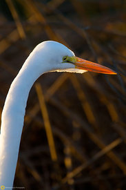 Great Egret #15