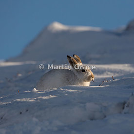 Mountain Hare (Arctic Hare) (Lepus timidus) in snow, eating a Heather stem (Calluna vulgaris), February 13, Strathdearn, Scot...