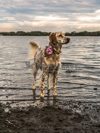 English setter standing in lake water at sunset