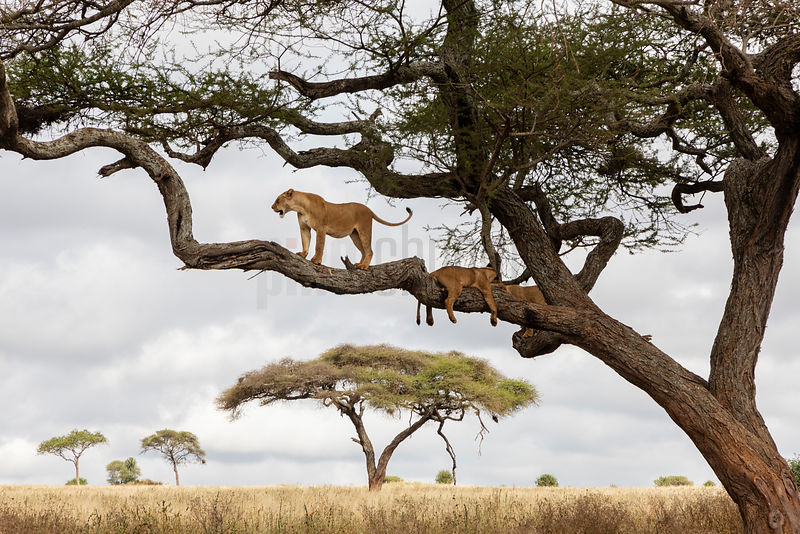 Lions in an Acacia Tree