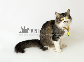 tri-color shelter cat with golden eyes and collar