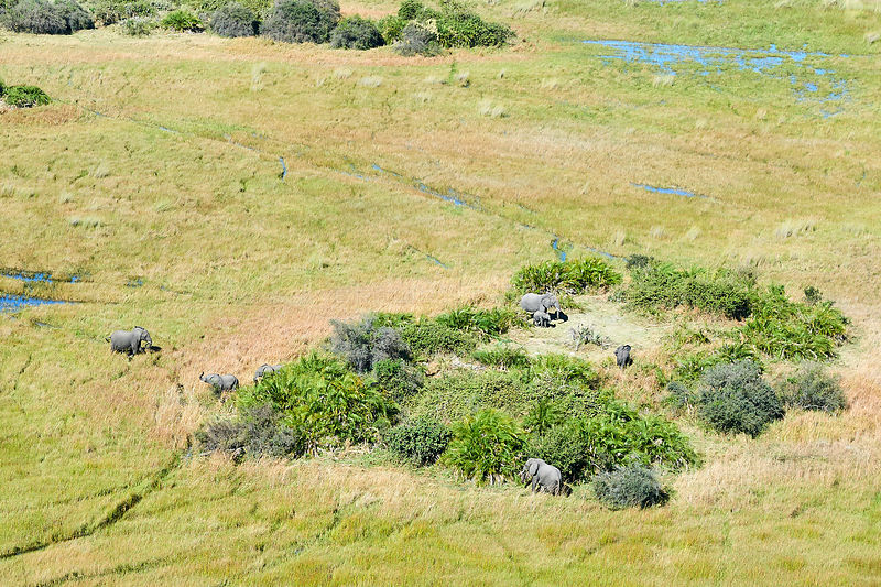 Aerial view of African elephants (Loxodonta africana)  on an island in marshland, one of them is wading through the swamp, an...