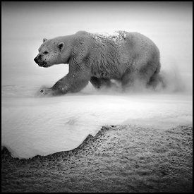 1423-Polar_bear_Baffin_Island_Canada_2016_Laurent_Baheux