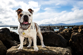 english bulldog standing on rock with pier, clouds and water in background