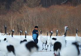 Feeding time at Akan Crane centre - among Japanese Cranes Grus japonensis Akan Hokkaido Japan