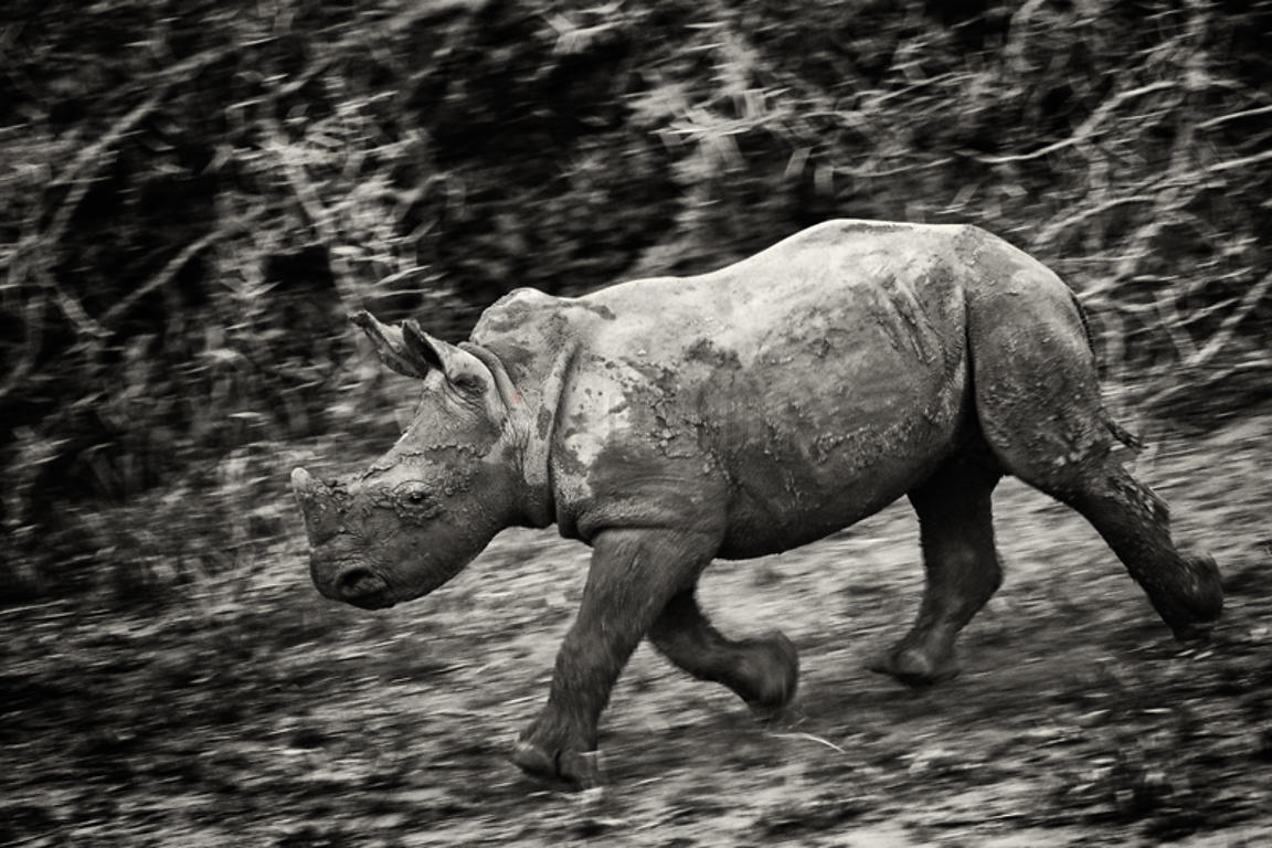African White Rhino on the Move