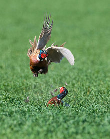 Pheasant Phasianus colchius males fighting Norfolk April