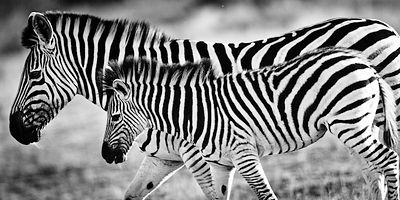 2545-Zebra_and_cub_Kenya_2013_Laurent_Baheux