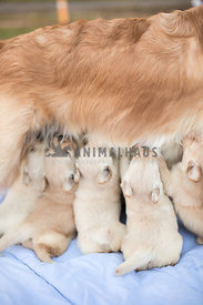 Close up of five Golden Retriever puppies nursing from mom while standing up