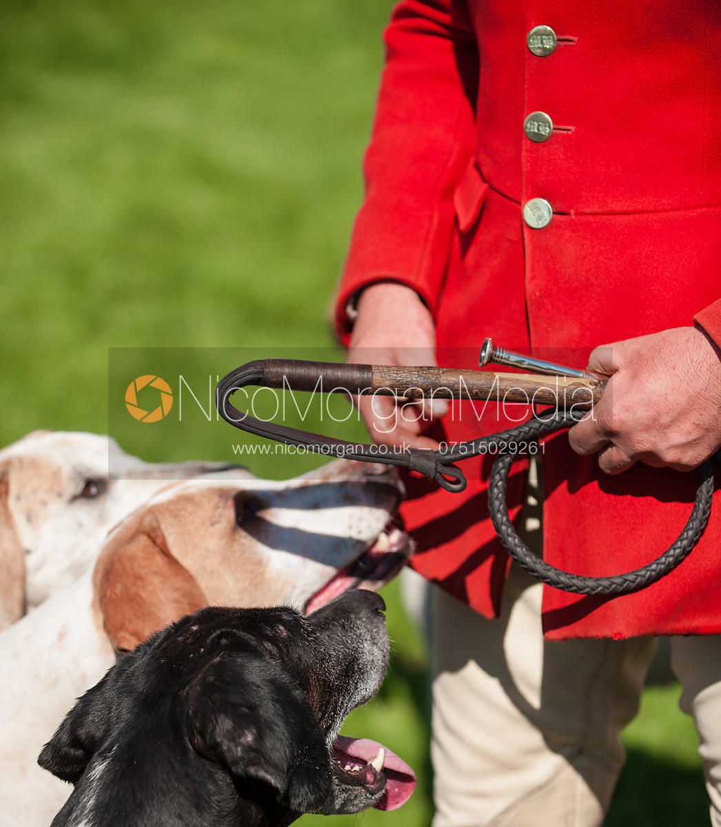 Meynell and South Staffordshire Hunt foxhound look at their huntsman