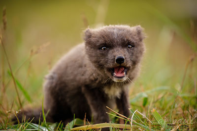 Playful Foxling