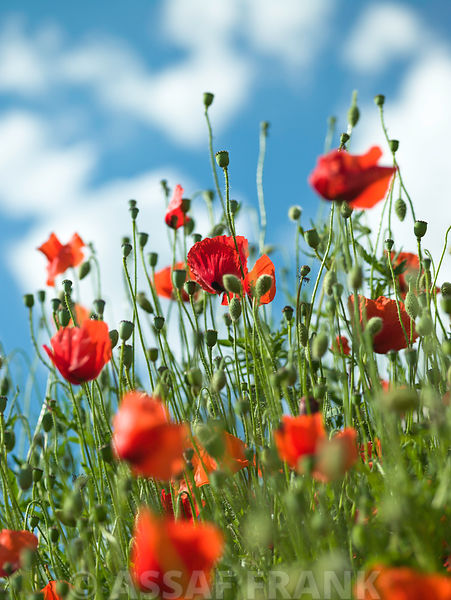 Poppy flowers against blue skies
