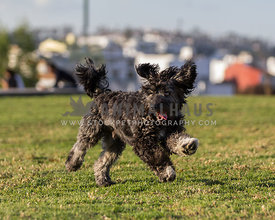 happy black doodle puppy playing on grass in a park