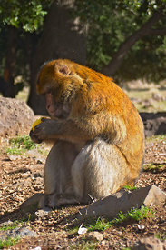 Habituated Barbary Macqaue monkies near Ifrane, Morocco; Portrait
