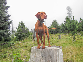 adult Vizla standing on a trunk in a forest with fog