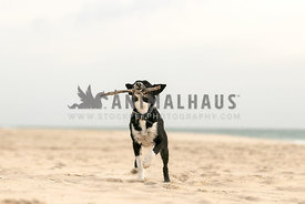 koolie playing fetch on the beach