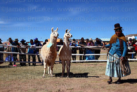 Aymara woman with her llamas during competition, Curahuara de Carangas, Bolivia