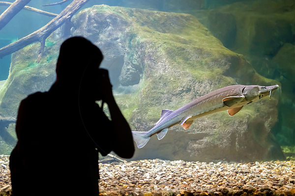 Homme Photographiant un Esturgeon d'Europe dans un aquarium