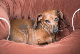 dachshund curled up on dog bed eye contact