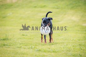 large rottweiler mix holding soccer ball in grass field