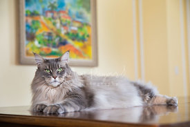 Grey Silver Maine Coon Cat Lying on wood table with Painting in Background