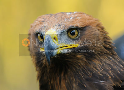 The Cottesmore Hunt's Steppe/Golden Eagle, Anna.