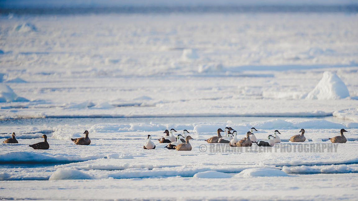 10 couples of common eiders on an ice floe in Svalbard