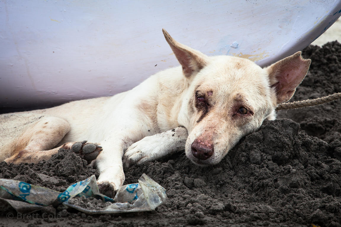 A stray dog on Juhu Beach in Mumbai, India lies in the sand, diseased and sick from eating the garbage the covers the beach a...