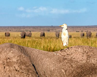 Egret Bird on Back of Elephant in Amboseli Kenya