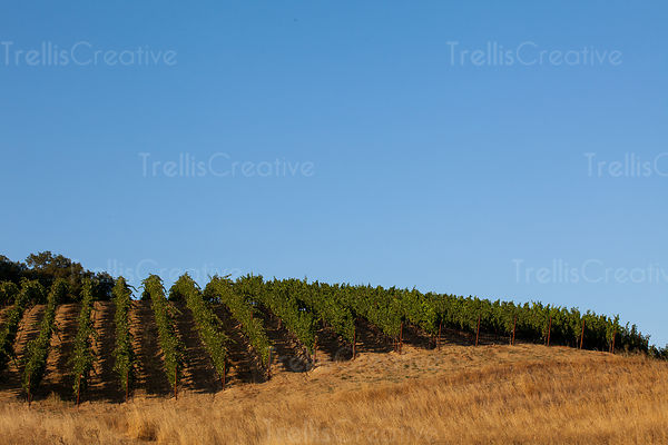 Vineyard forms a beautiful pattern on the hillside with the contrasting dry grass and blue sky