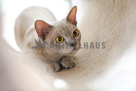 Lilac burmese cat in a carpet tunnel about to pounce