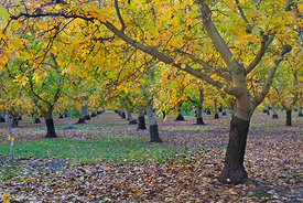 Walnut Orchards in Fall #4