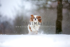 Cavalier King Charles Spaniel running in Snow