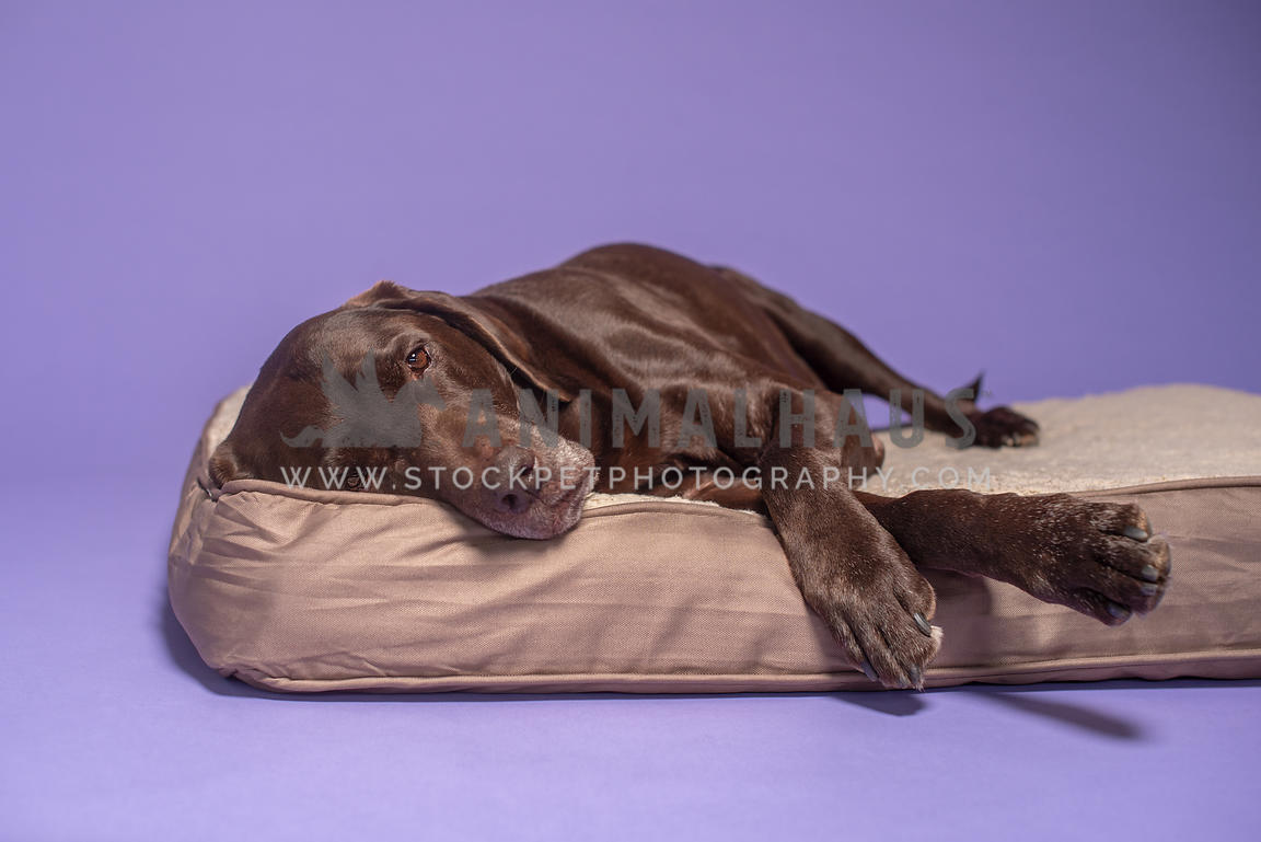 older chocolate lab lying on his side on a dog bed