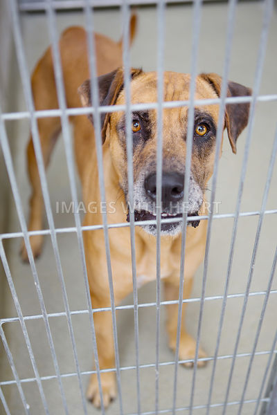 Brown dog in kennel