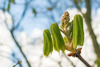 Surprising strength of the unfolding chestnut bud