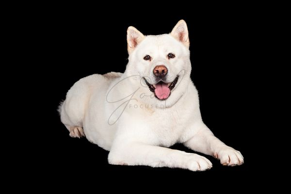 Akita Dog Lying Over Black Background