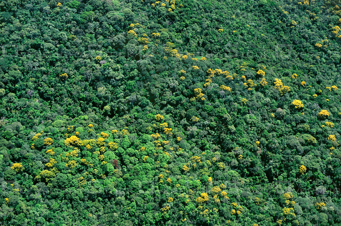 Yellow flowers blooming trees rainforest Venezuela