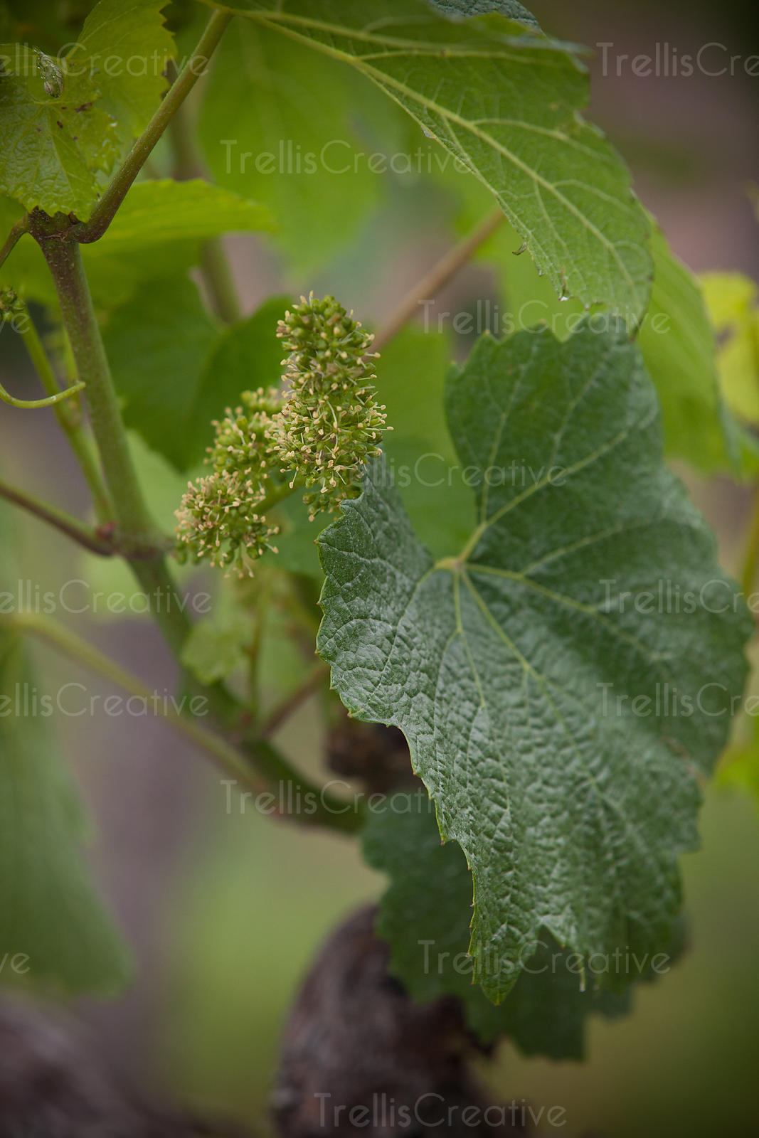 add to stock, baby grape cluster, bud break, flowering, futures, germinate, germination, grape growing, new beginnings, new l...