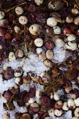 Potatoes on the ground freeze drying and turning into tunta or white chuño , Bolivia