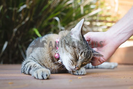 Tabby cat getting scratches from owner