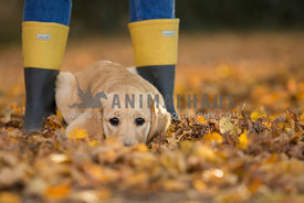 Golden labrador retriever puppy lying in golden autumn leaves between owners boots