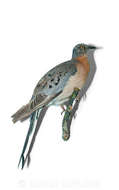 Passenger Pigeon from North America now extinct