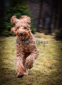 Young energetic dark brown golden doodle dog running in the forest